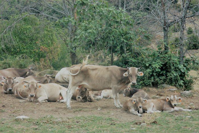 Vacas en Campodarbe